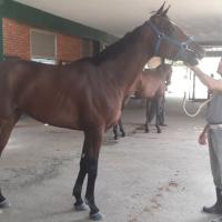 Pasaron la primera revisión veterinaria grupo de purasangres venezolanos rumbo a Gulfstream
